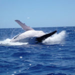 Wet and Wild Aitutaki Cook Islands Tours , Whale Watching, Snorkeling, Lagoon Cruises, Lagoon Tours.